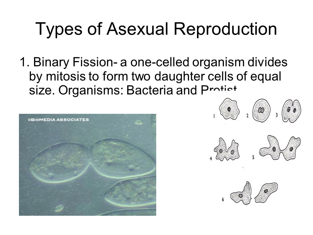 Types of Asexual Reproduction 1.