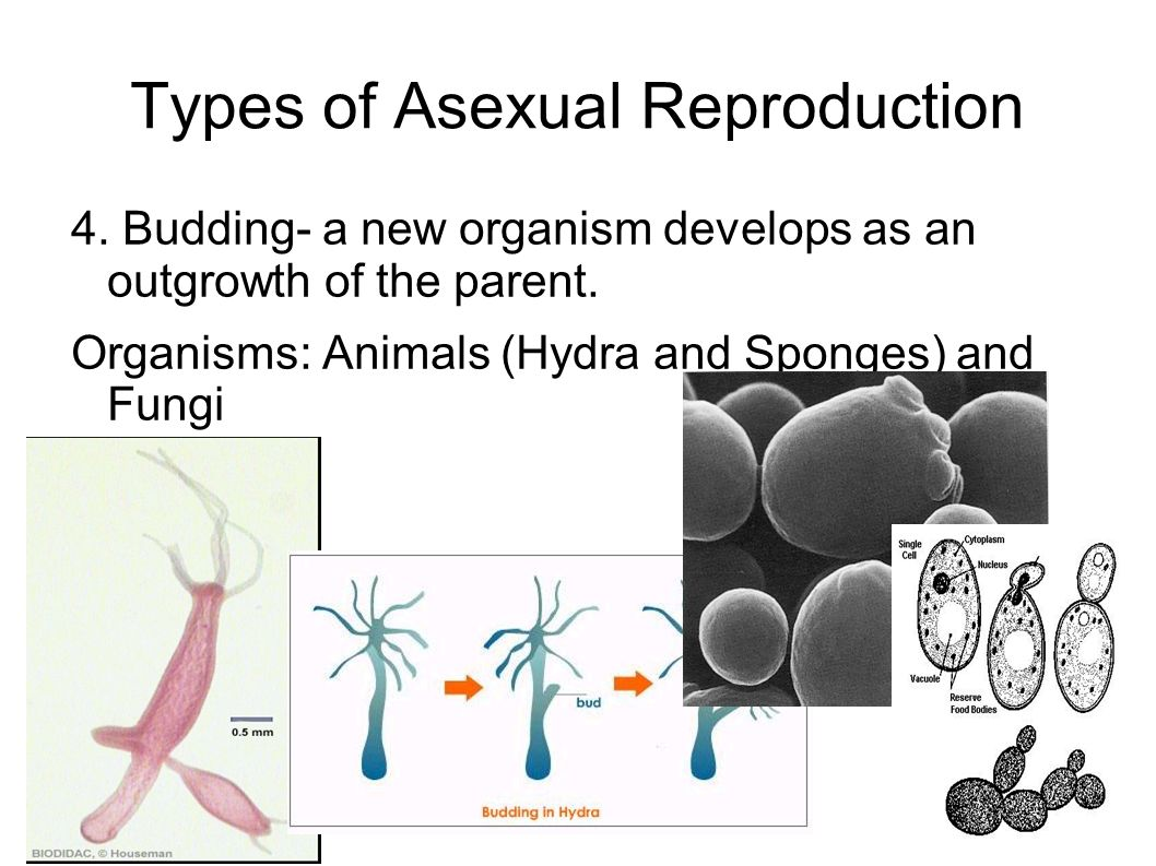 Types of Asexual Reproduction 4. Budding- a new organism develops as an outgrowth of the parent.