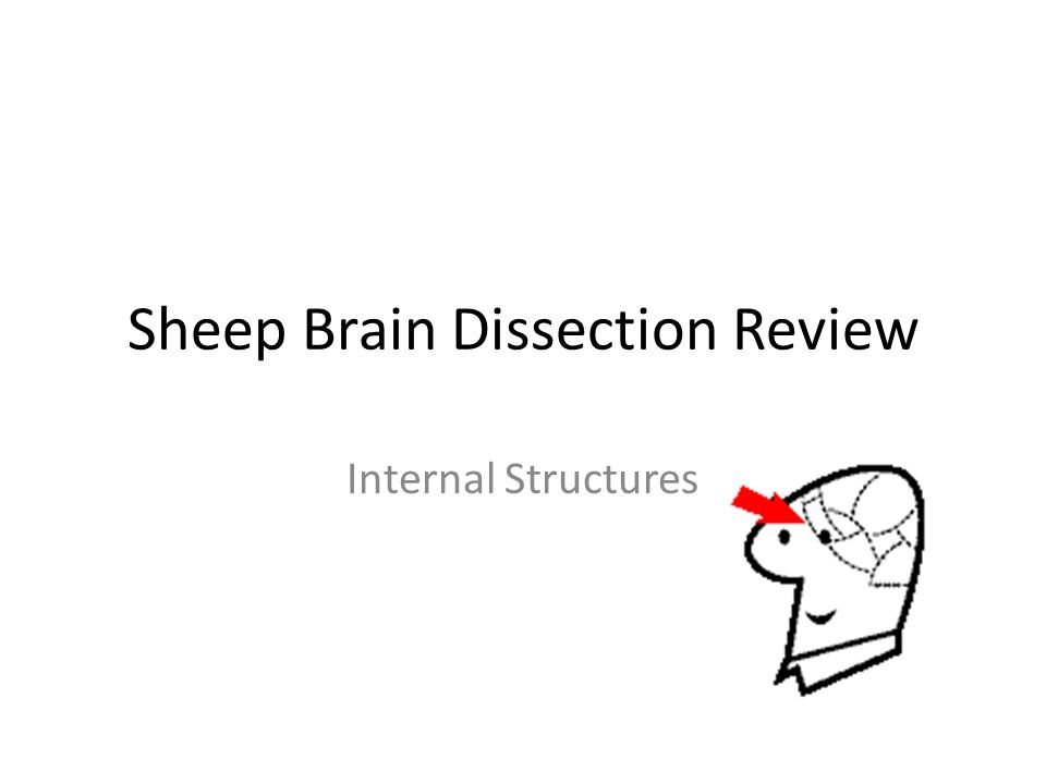 Sheep Brain Dissection Review Internal Structures. - ppt download