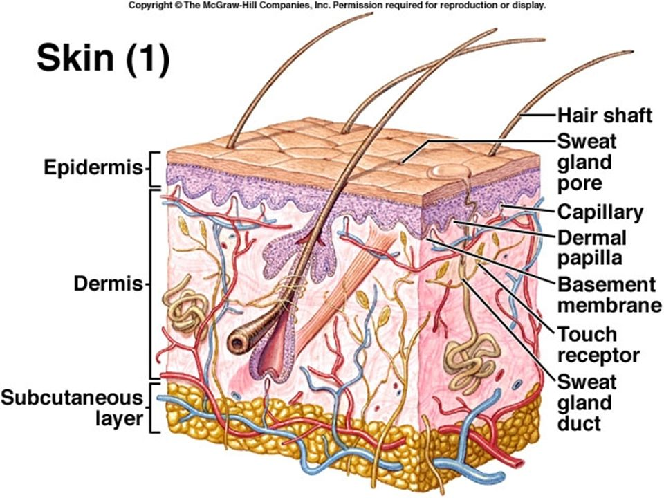 Integumentary System Integumentary System Is The Skin And The Organs