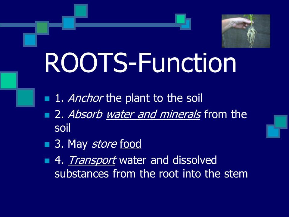 ROOTS-Function 1. Anchor the plant to the soil 2.