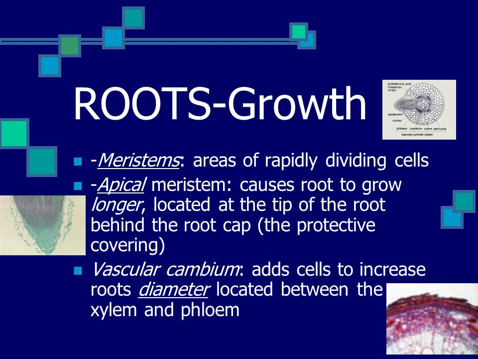 ROOTS-Growth -Meristems: areas of rapidly dividing cells -Apical meristem: causes root to grow longer, located at the tip of the root behind the root cap (the protective covering) Vascular cambium: adds cells to increase roots diameter located between the xylem and phloem