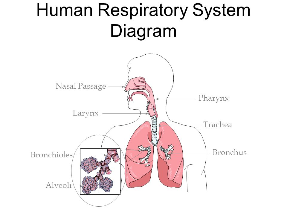 Respiratory system diagram bronchi electrical drawing wiring diagram human respiratory system respiration is gas exchange between an rh slideplayer com carina respiratory system dog respiratory system ccuart