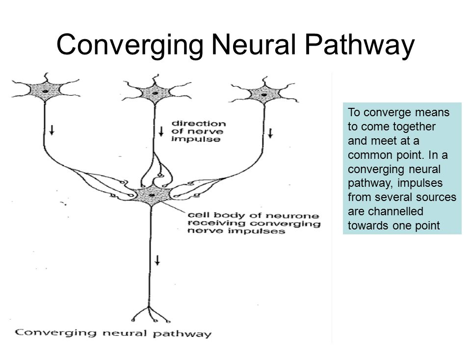 Neurones And Neural Pathways Chapter 27 The Nervous System Consists