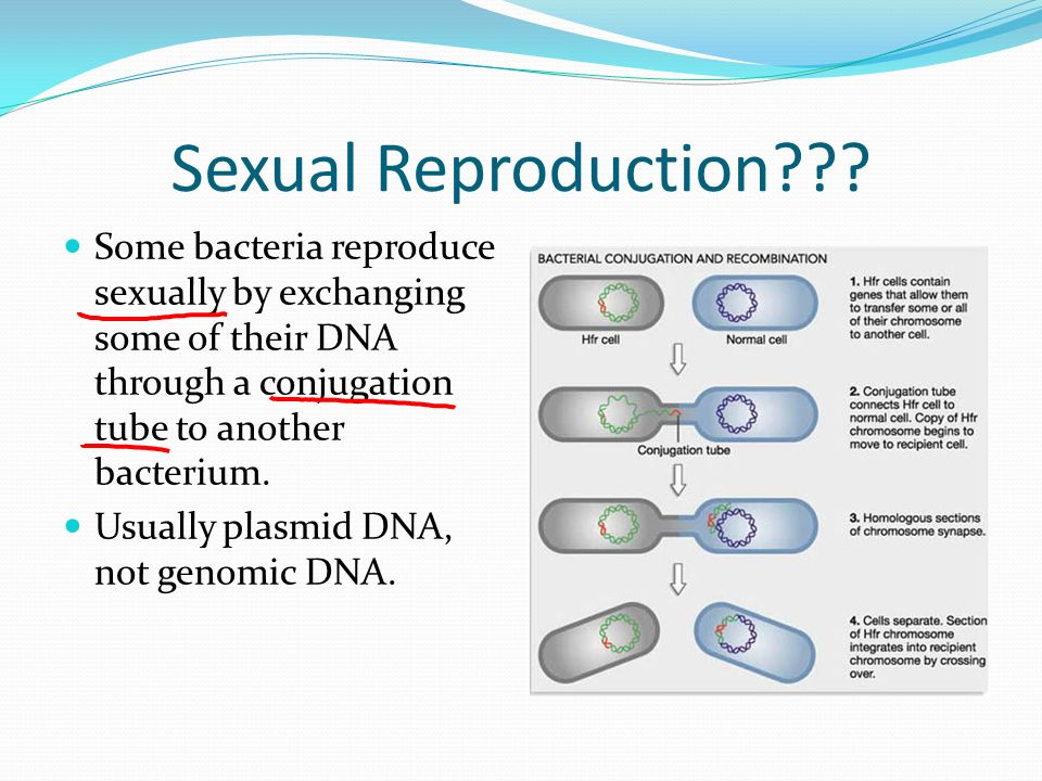 Describe how bacteria reproduce sexually