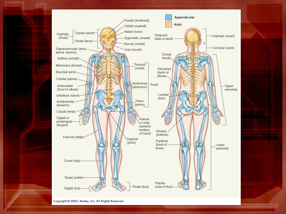 Anatomical Directions And Major Body Regions Ppt Video Online Download