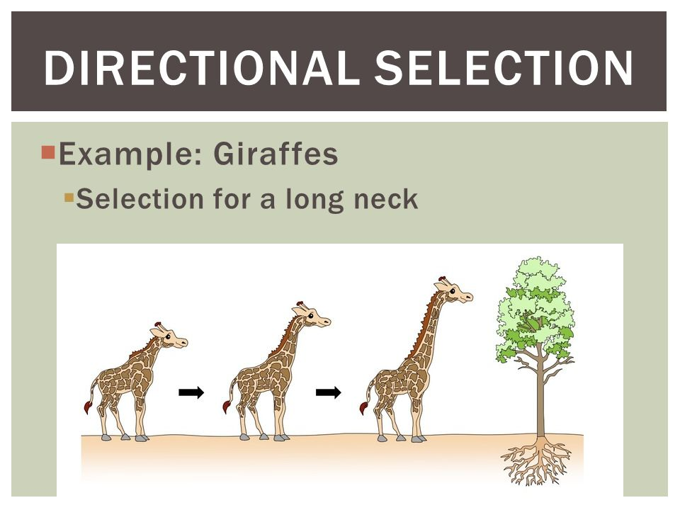 Types Of Natural Selection Directional Selection Stabilizing