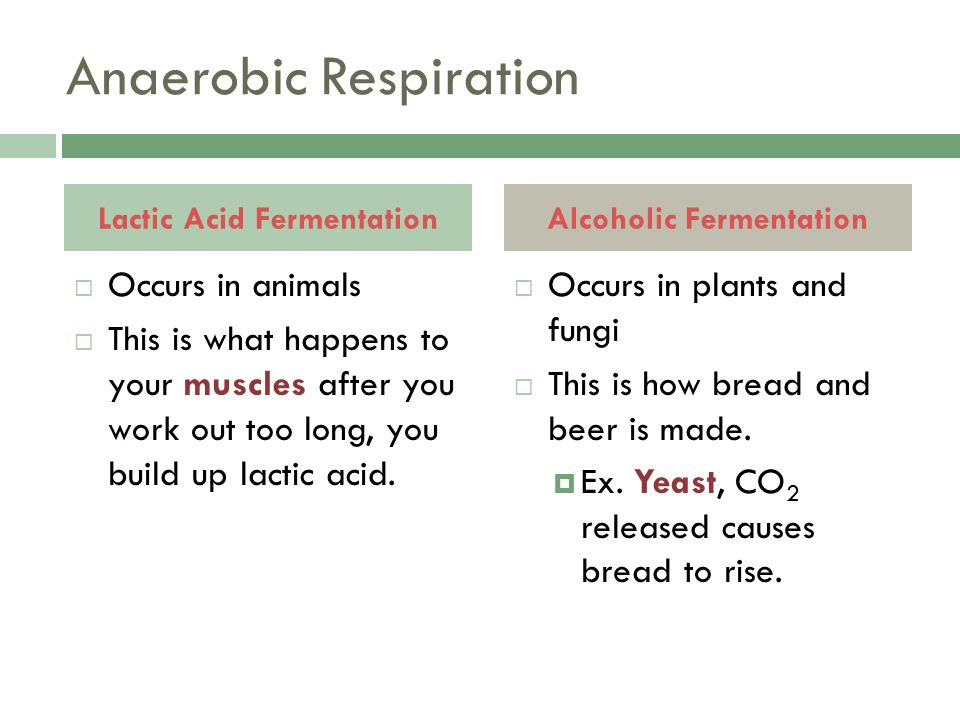 Anaerobic Respiration  Occurs in animals  This is what happens to your muscles after you work out too long, you build up lactic acid.