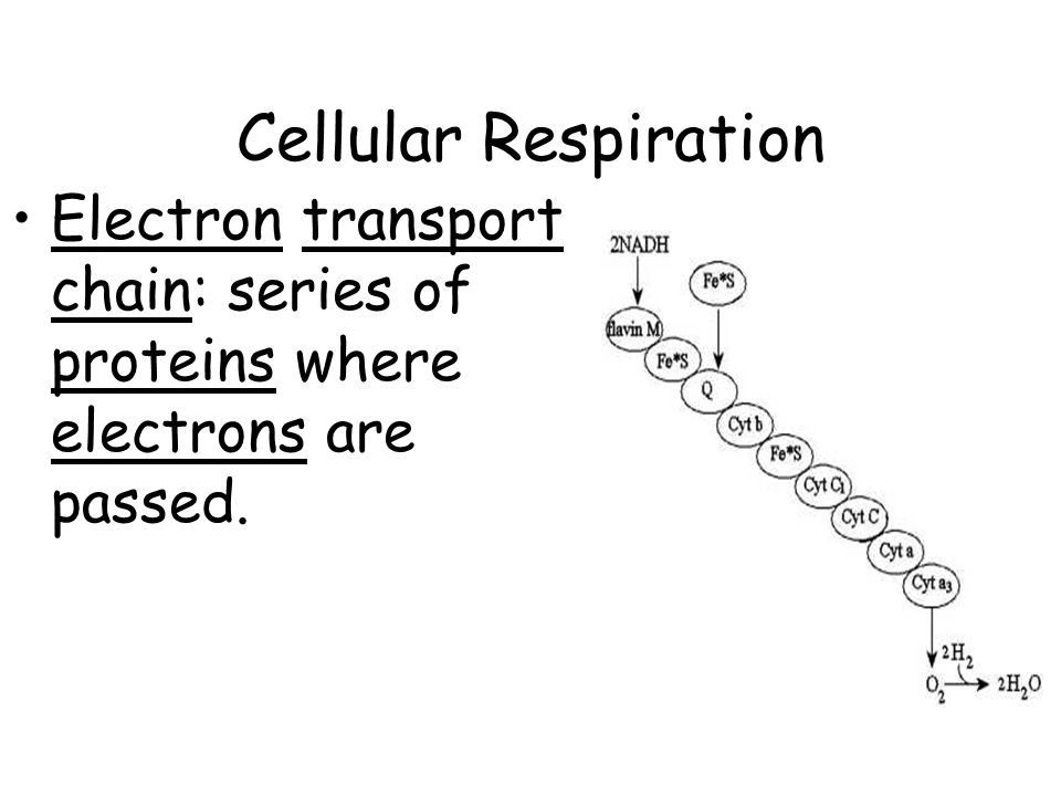 Cellular Respiration Electron transport chain: series of proteins where electrons are passed.