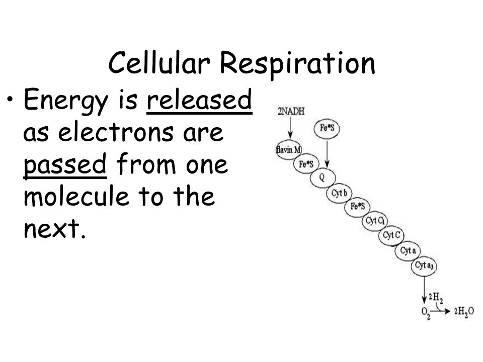 Cellular Respiration Energy is released as electrons are passed from one molecule to the next.