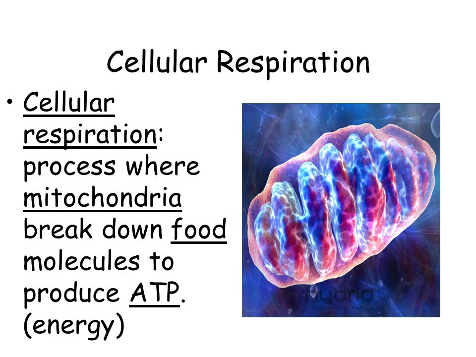 Cellular respiration: process where mitochondria break down food molecules to produce ATP. (energy)