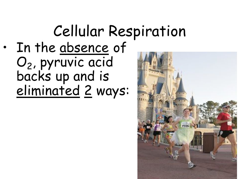 Cellular Respiration In the absence of O 2, pyruvic acid backs up and is eliminated 2 ways: