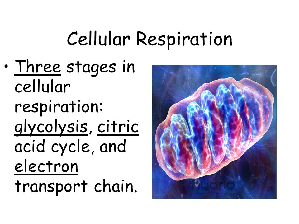 Cellular Respiration Three stages in cellular respiration: glycolysis, citric acid cycle, and electron transport chain.
