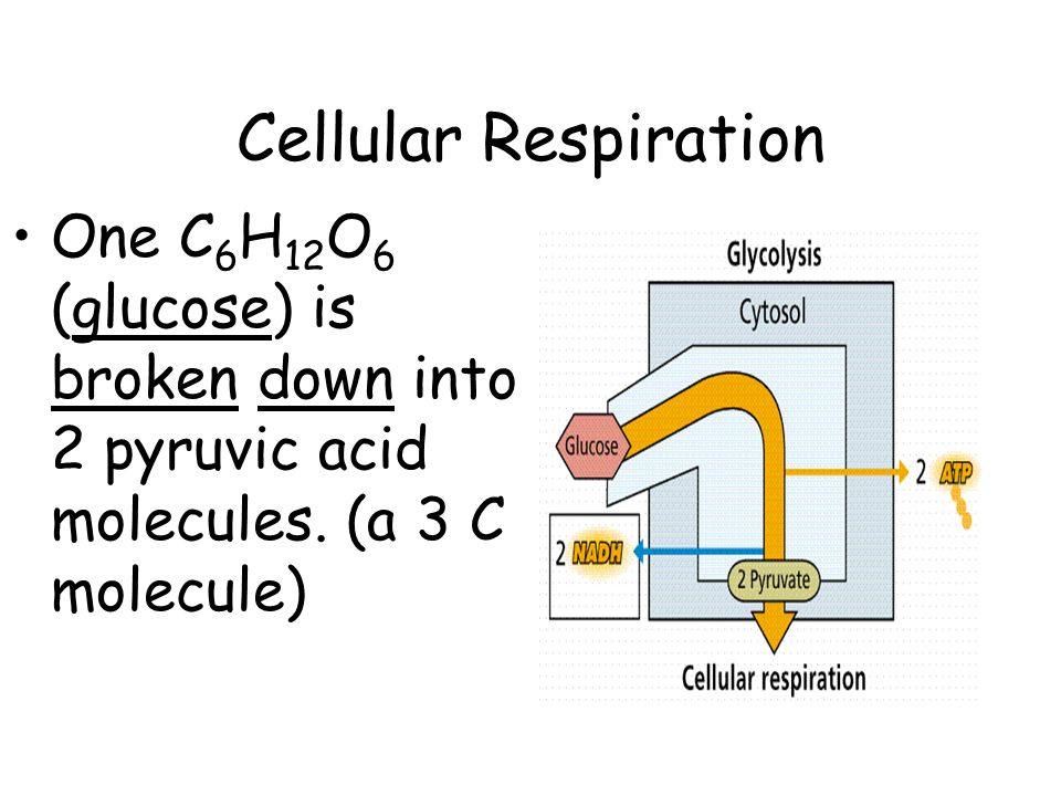 Cellular Respiration One C 6 H 12 O 6 (glucose) is broken down into 2 pyruvic acid molecules.