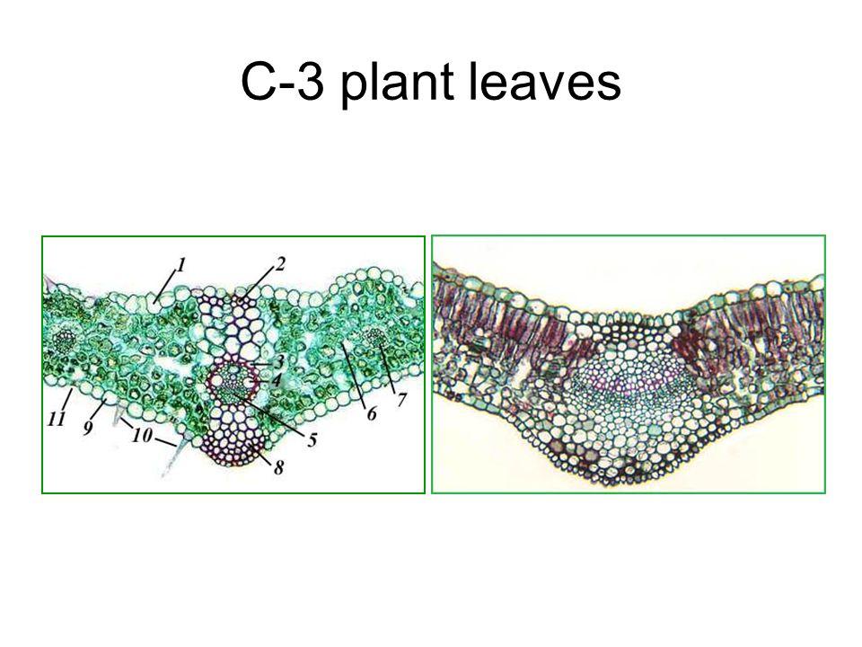 Leaves - II. Corn leaves show Kranz anatomy Photosynthesis Light ...