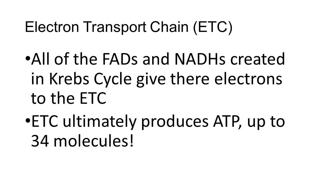 Electron Transport Chain (ETC) All of the FADs and NADHs created in Krebs Cycle give there electrons to the ETC ETC ultimately produces ATP, up to 34 molecules!