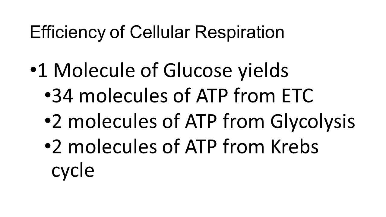 Efficiency of Cellular Respiration 1 Molecule of Glucose yields 34 molecules of ATP from ETC 2 molecules of ATP from Glycolysis 2 molecules of ATP from Krebs cycle