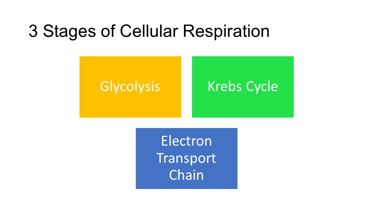 3 Stages of Cellular Respiration GlycolysisKrebs Cycle Electron Transport Chain