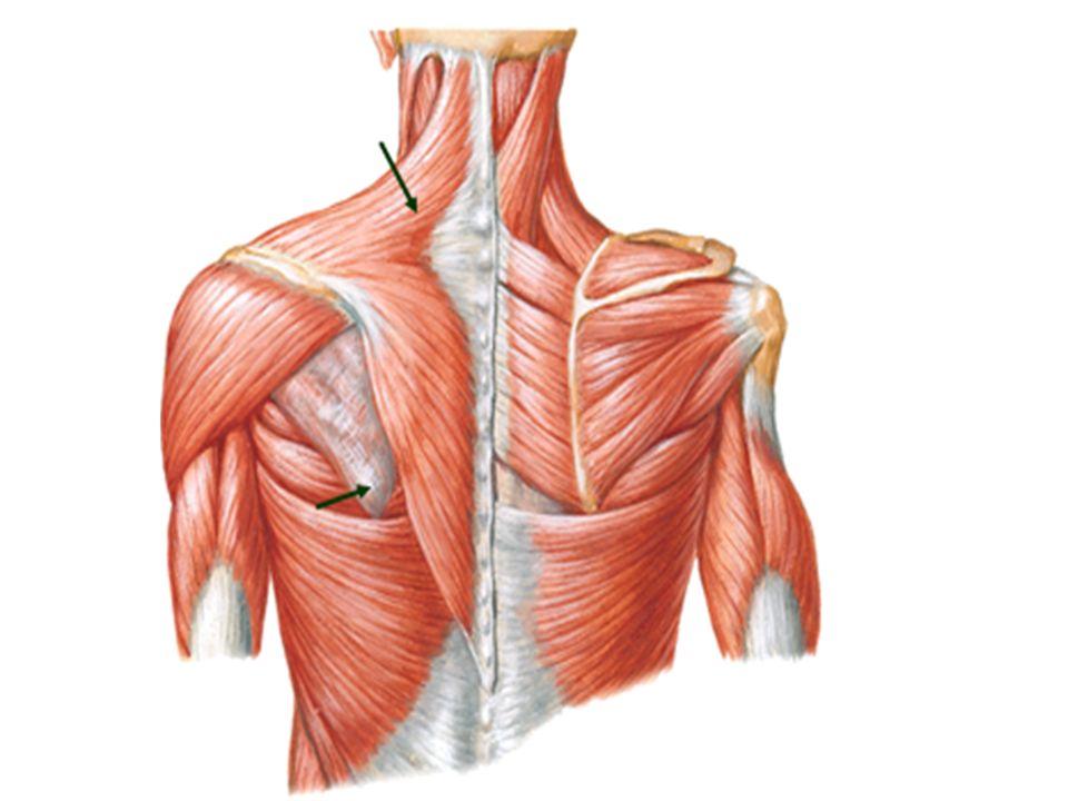 Scapular Region Trapezius Muscle Deltoid Muscle Rotator Cuff Muscles