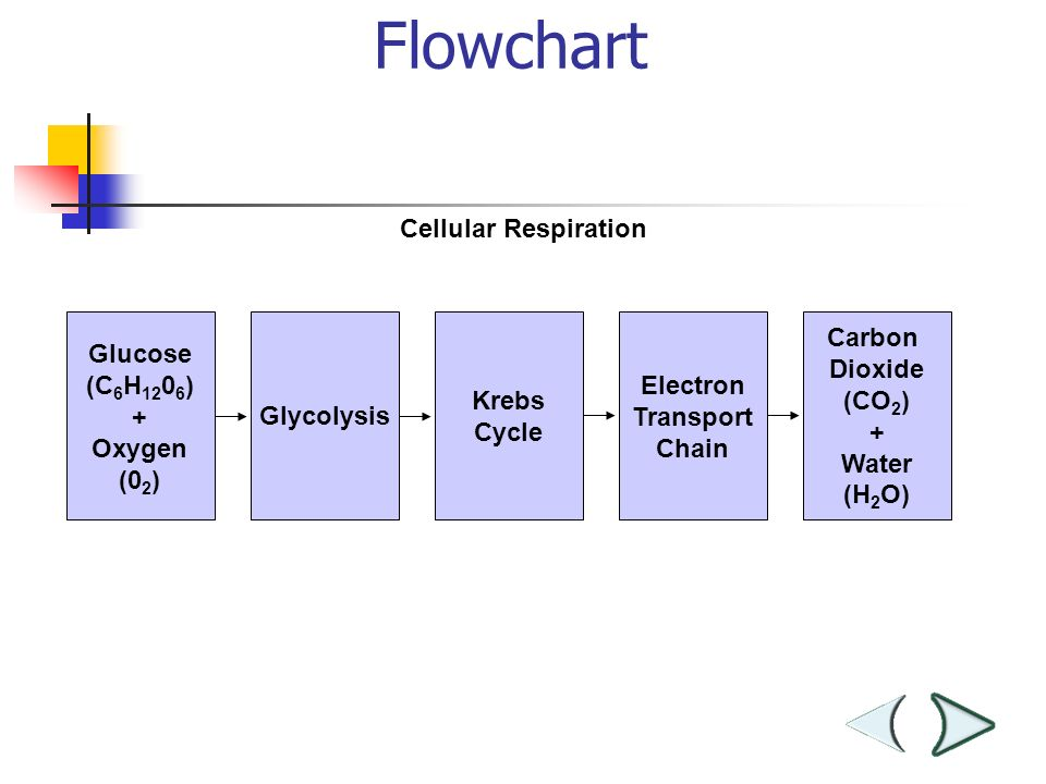 Flowchart Section 9-2 Glucose (C 6 H ) + Oxygen (0 2 ) Glycolysis Krebs Cycle Electron Transport Chain Carbon Dioxide (CO 2 ) + Water (H 2 O) Cellular Respiration