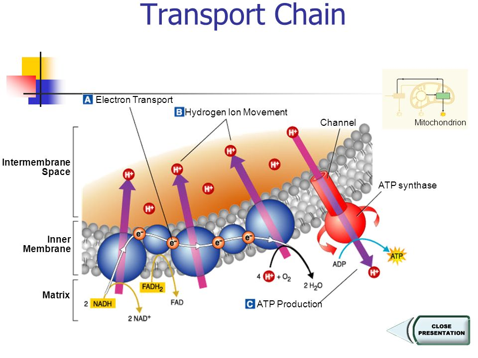 Figure 9–7 Electron Transport Chain Section 9-2 Electron Transport Hydrogen Ion Movement ATP Production ATP synthase Channel Inner Membrane Matrix Intermembrane Space Mitochondrion