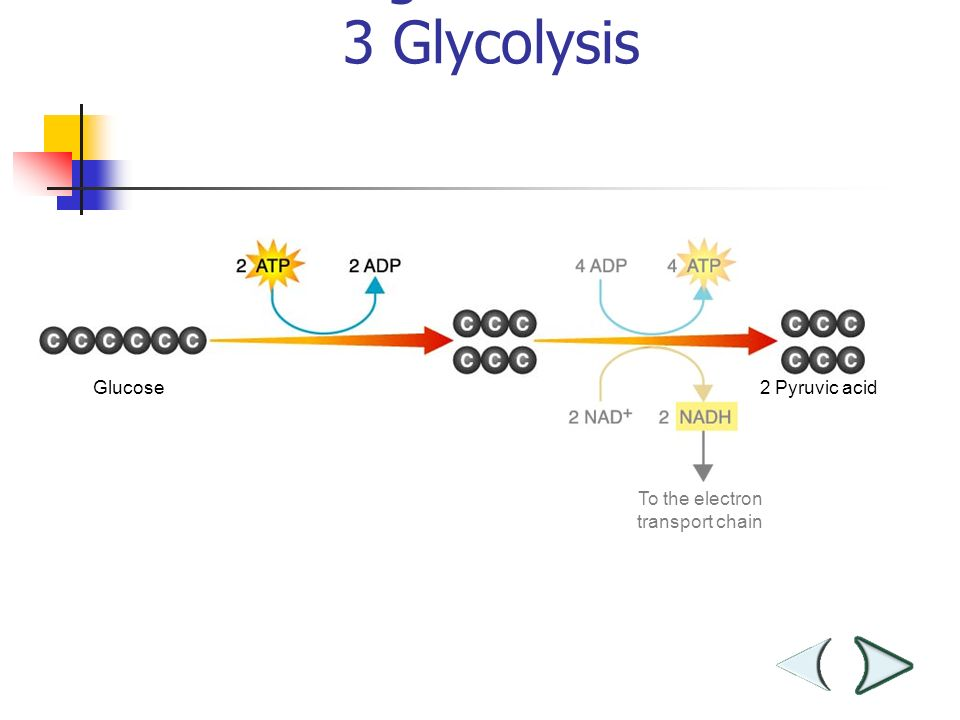 Glucose To the electron transport chain Figure 9– 3 Glycolysis Section Pyruvic acid