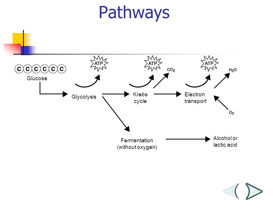 Glucose Glycolysis Krebs cycle Electron transport Fermentation (without oxygen) Alcohol or lactic acid Chemical Pathways Section 9-1