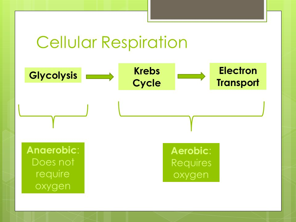 Cellular Respiration Glycolysis Krebs Cycle Electron Transport Anaerobic : Does not require oxygen Aerobic : Requires oxygen