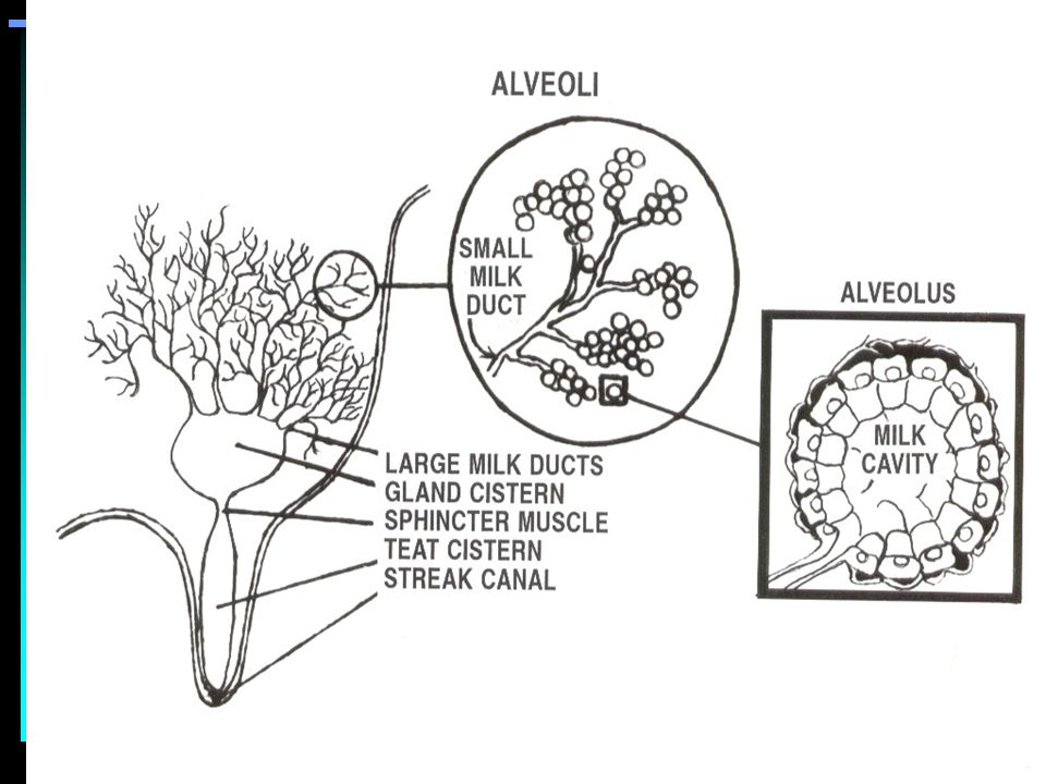 Outstanding Anatomy Mammary Gland Gallery - Anatomy And Physiology ...