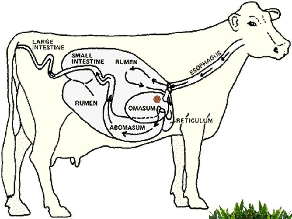 Ruminants Anatomy