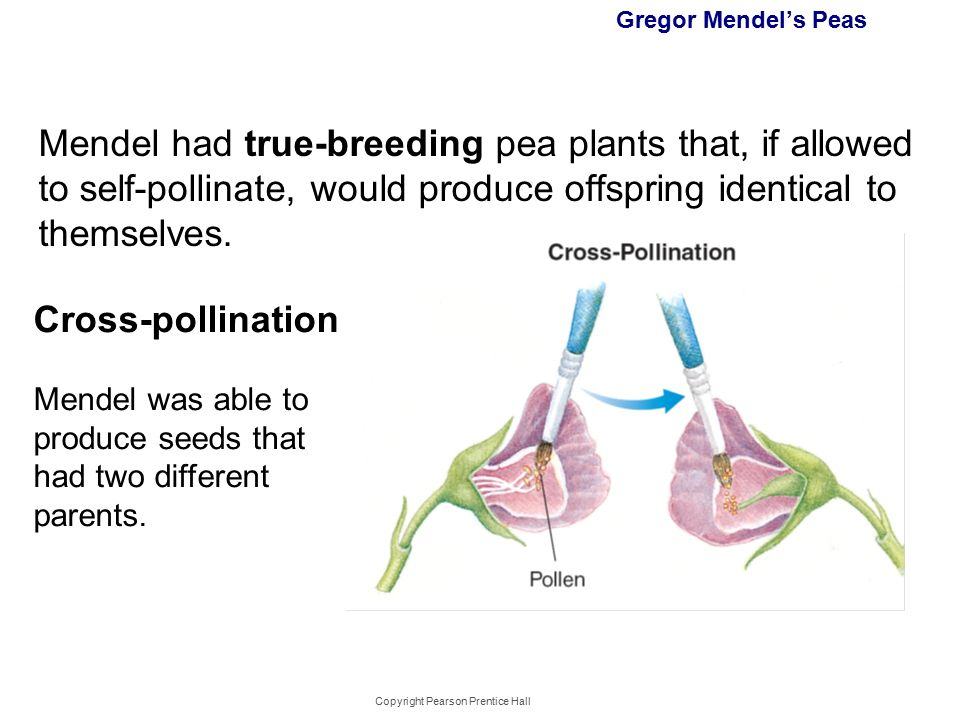 what was important about the work of gregor mendel