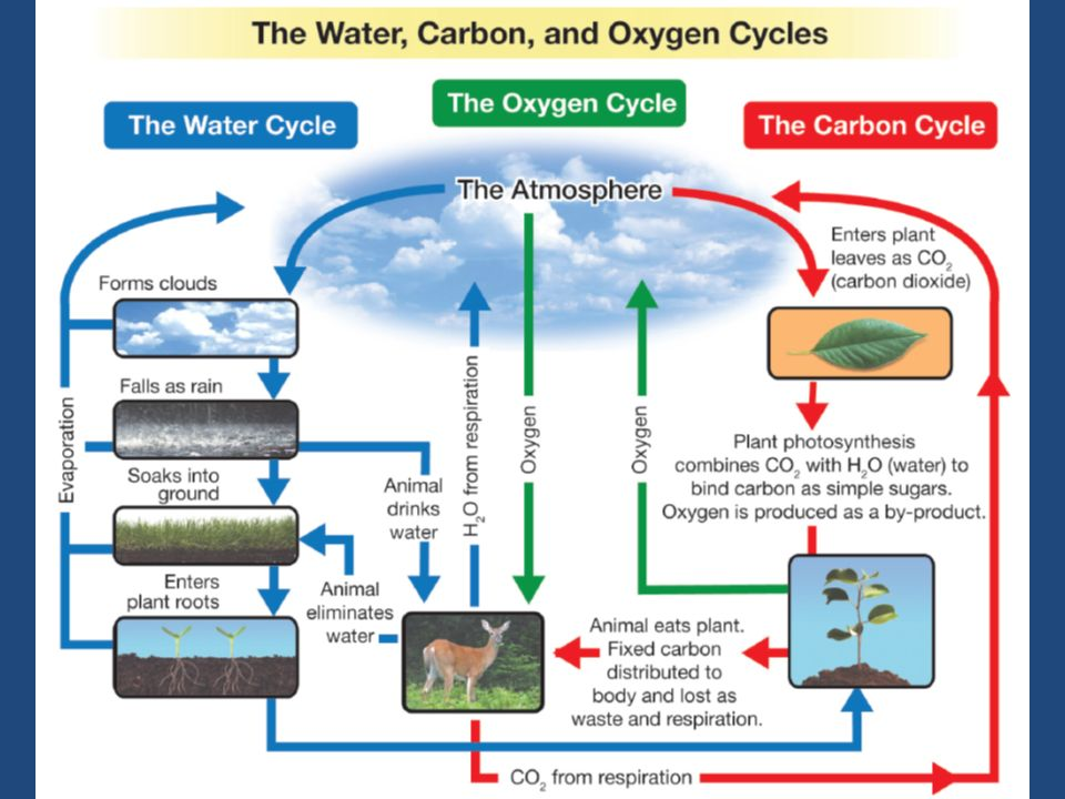 The Carbon Cycle Trace The Pathways Through Which Carbon Is Released
