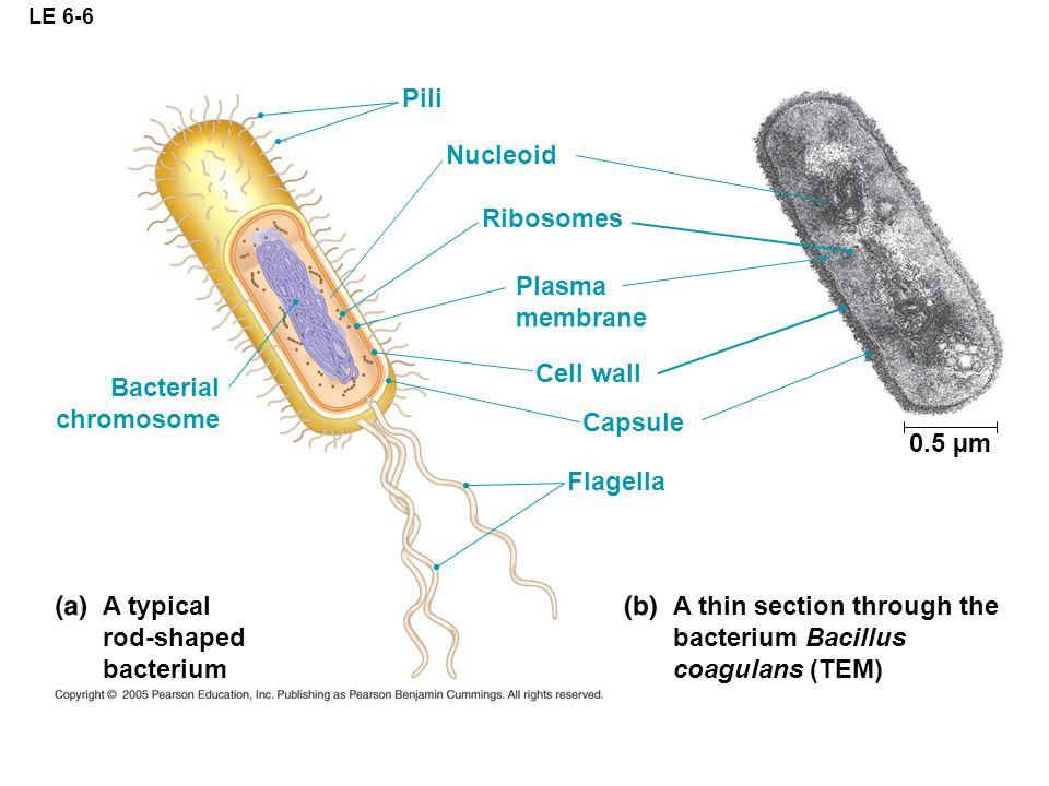 ap biology tour of the cell 1 ap biology prokaryote bacteria cells