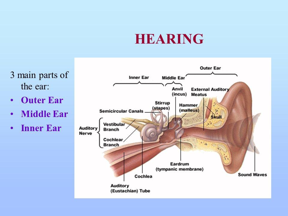 Still Chapter 17 Hearing Balance Hearing 3 Main Parts Of The Ear