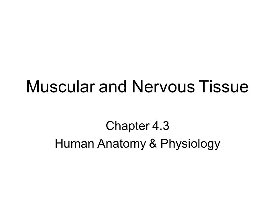 Muscular and Nervous Tissue Chapter 4.3 Human Anatomy & Physiology ...