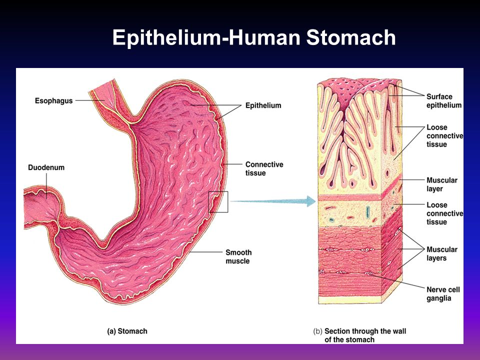Stomach Tissues Types Diagram House Wiring Diagram Symbols