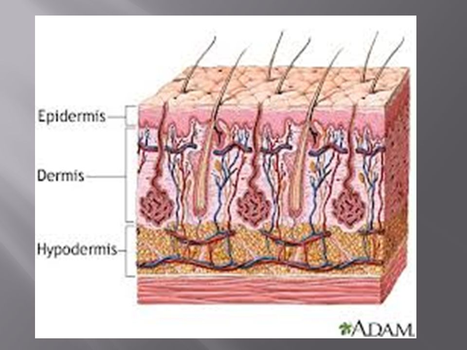 Health Science I Anatomy & Physiology.  Composed of the skin ...