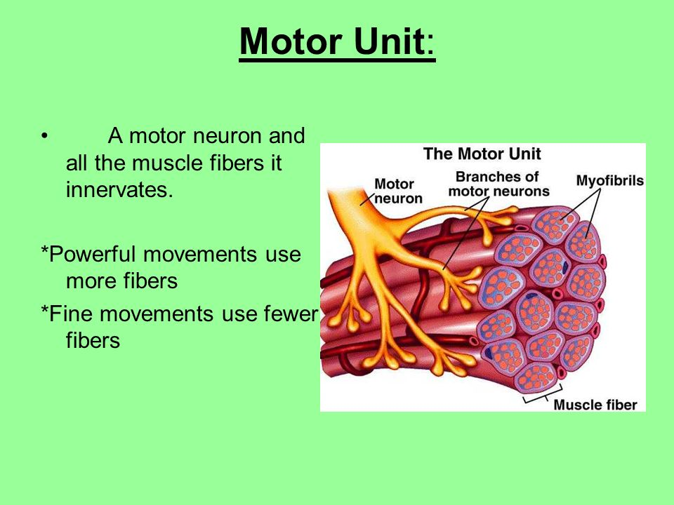 Motor Unit A Motor Neuron And All The Muscle Fibers It Innervates