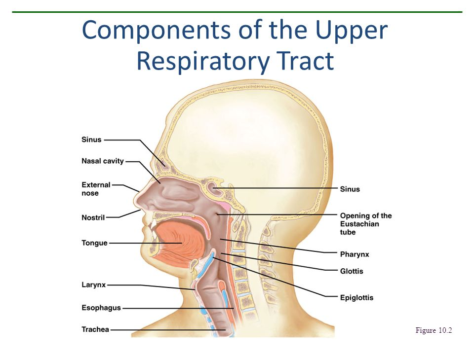 Human Respiratory System Figure Components Of The Upper Respiratory