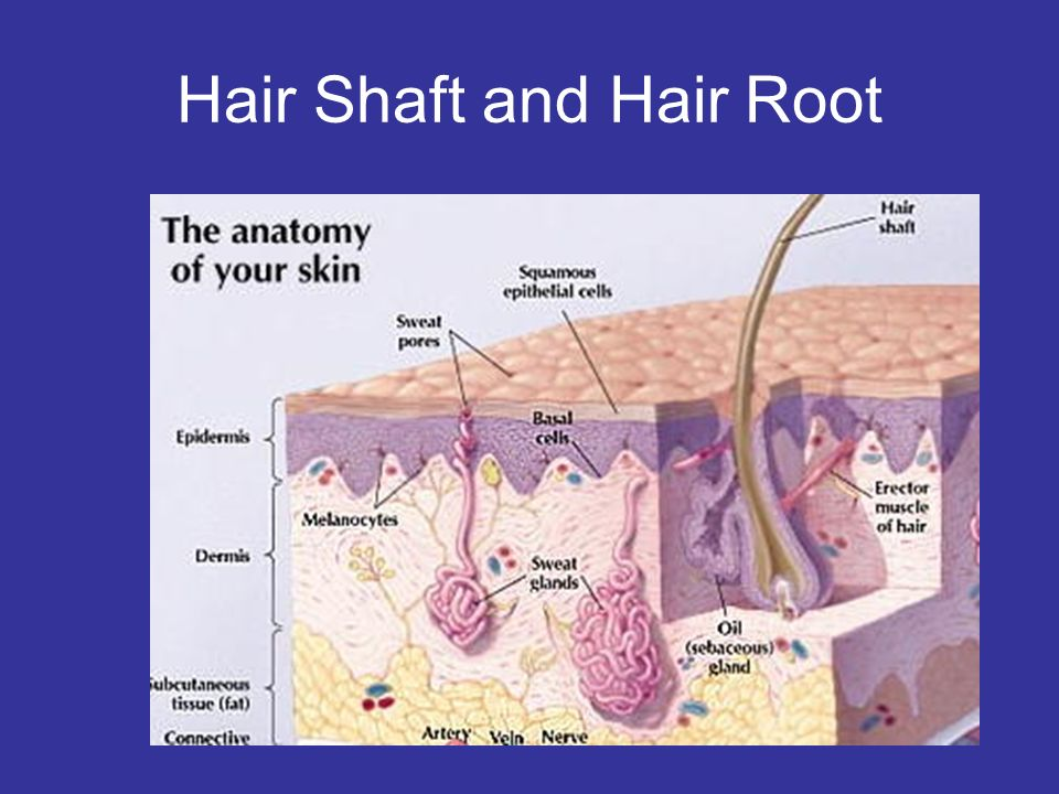 Hair Shaft and Hair Root
