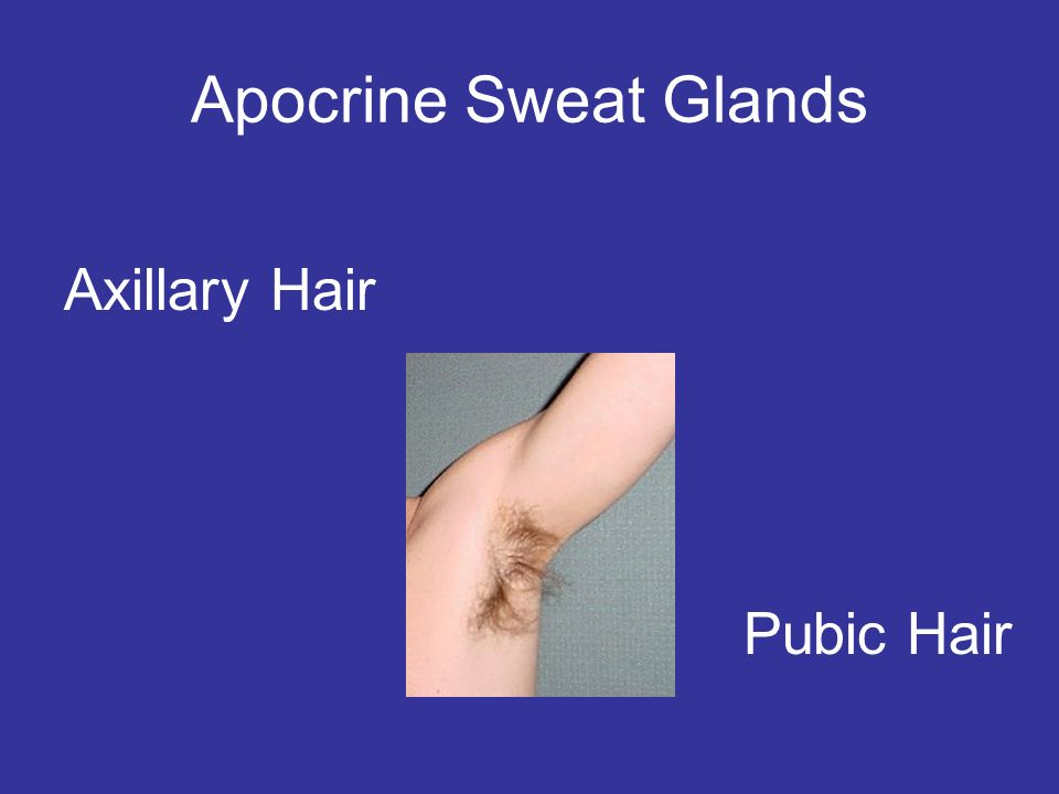 Apocrine Sweat Glands Pubic Hair Axillary Hair