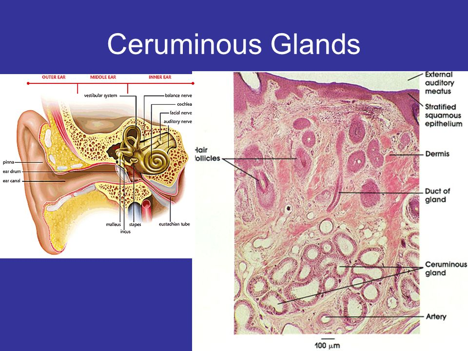 Ceruminous Glands