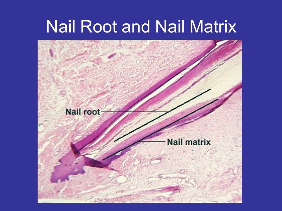 Nail Root and Nail Matrix