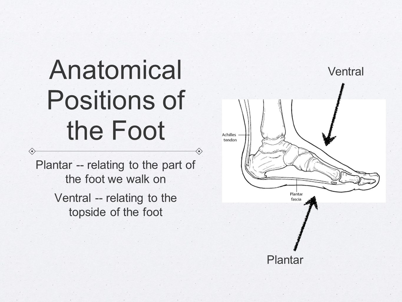 Anatomical Directions NEED TO KNOW. Anatomical Planes Sagittal Plane ...