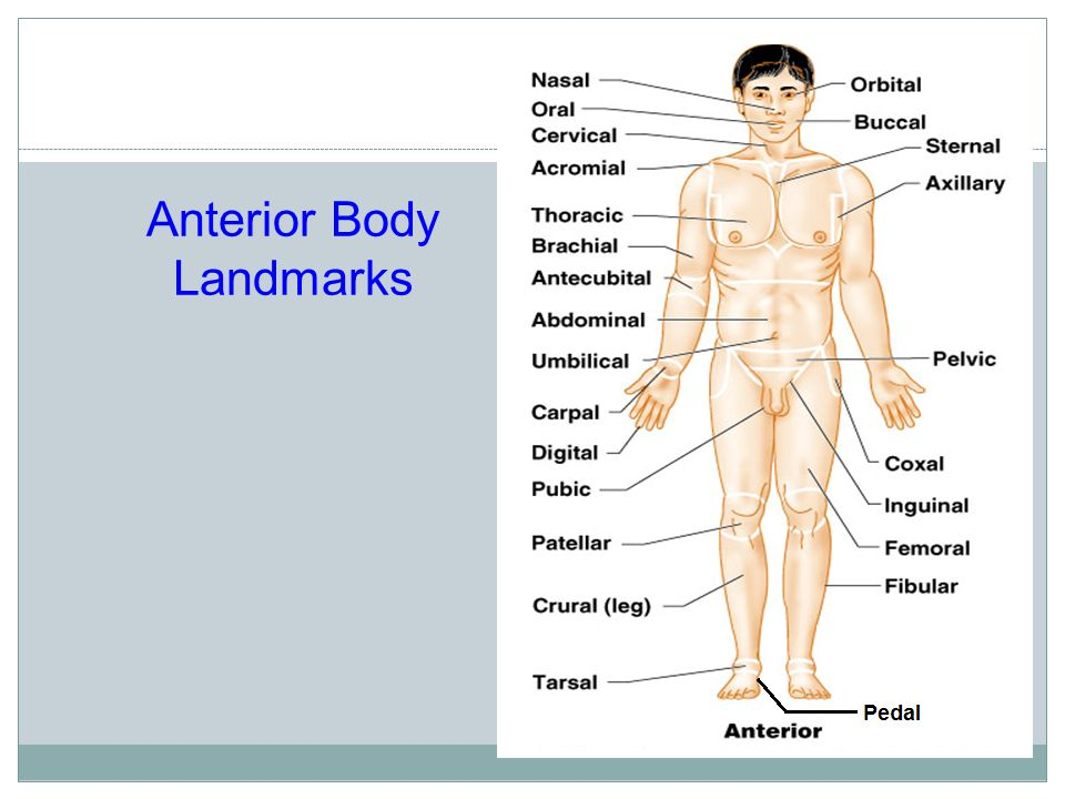Terminology The Language Of Anatomy Special Terminology Is Used To