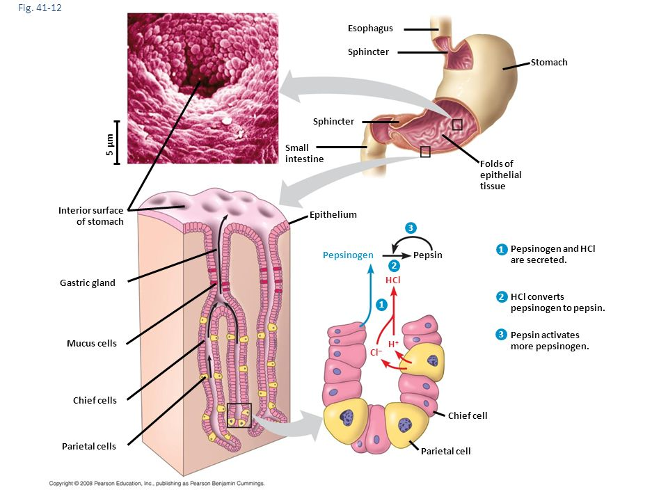 Chapter 45 processing food and nutrition the digestive system 6 fig ccuart Gallery