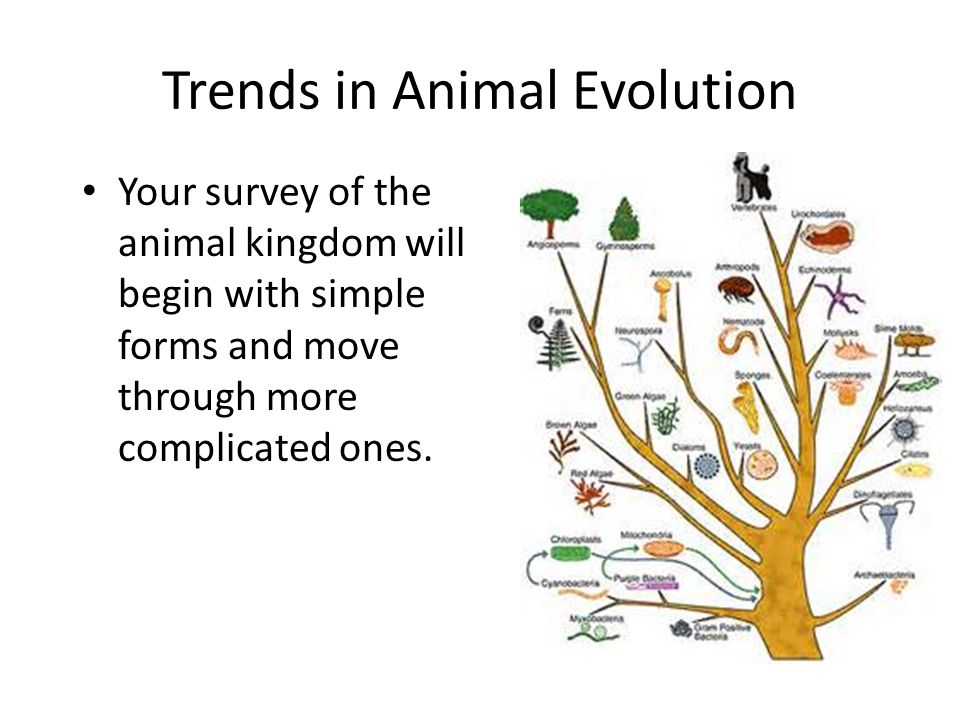 Image of: Animal Kingdom Trends In Animal Evolution Your Survey Of The Animal Kingdom Will Begin With Simple Forms And Move Through More Complicated Ones Slideplayer What Is An Animal Multicellular Organism Of The Kingdom Animalia