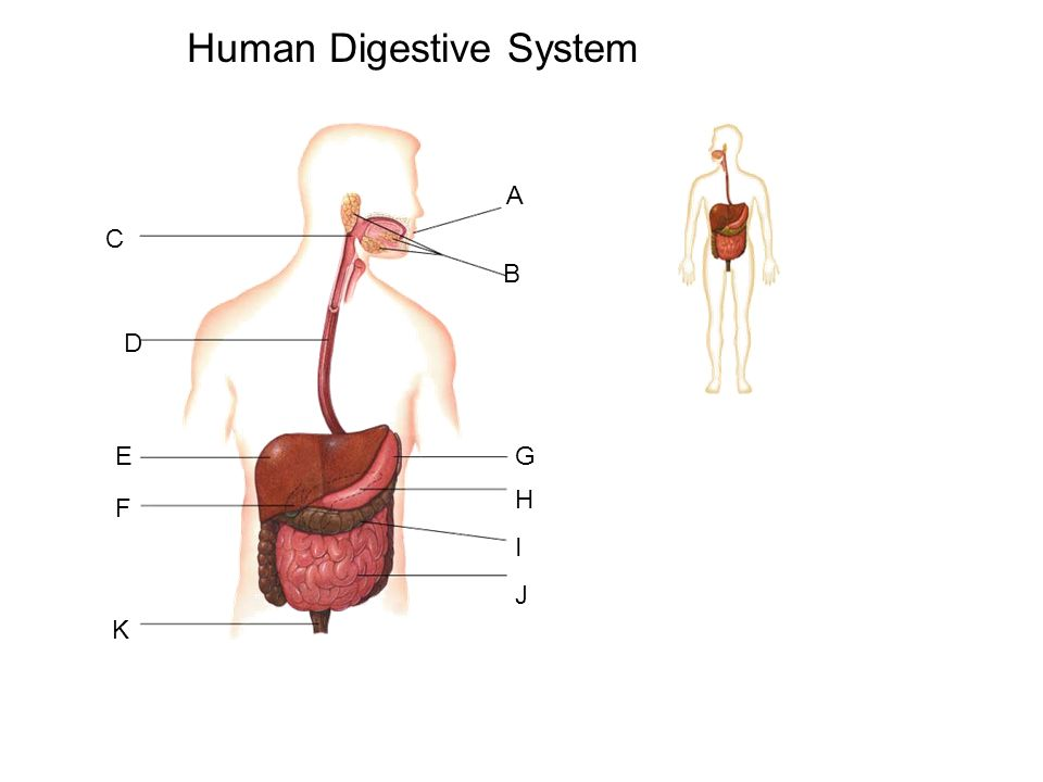 Aim How Does The Human Digestive System Maintain Homeostasis Do