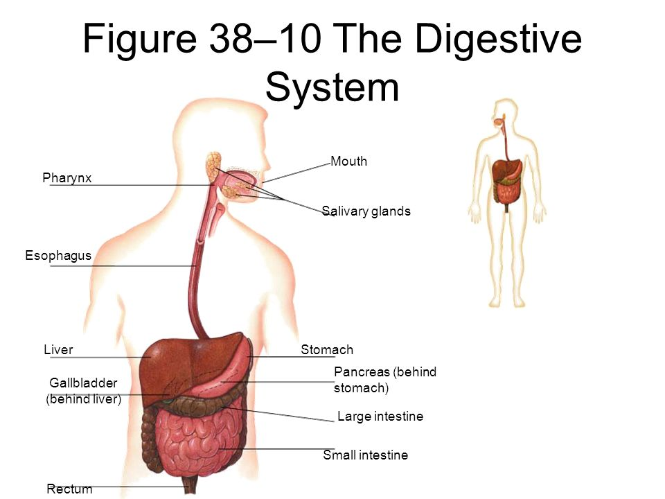 Aim: How does the human digestive system maintain homeostasis? Do ...