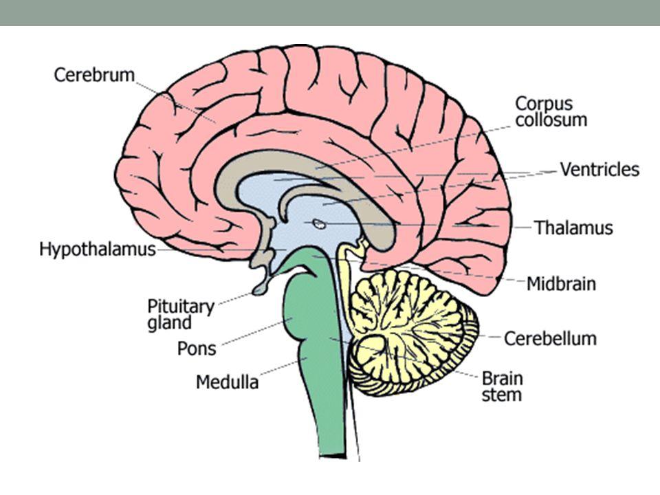 5 Senses Brain Diagram Block And Schematic Diagrams